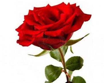Duftöl Rose 100ml (Dekoration)