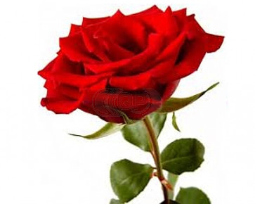Duftöl Rose 500ml (nur Dekoration)