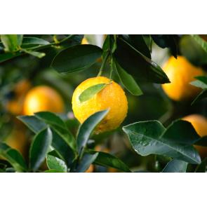 Duftöl Lemon Twist